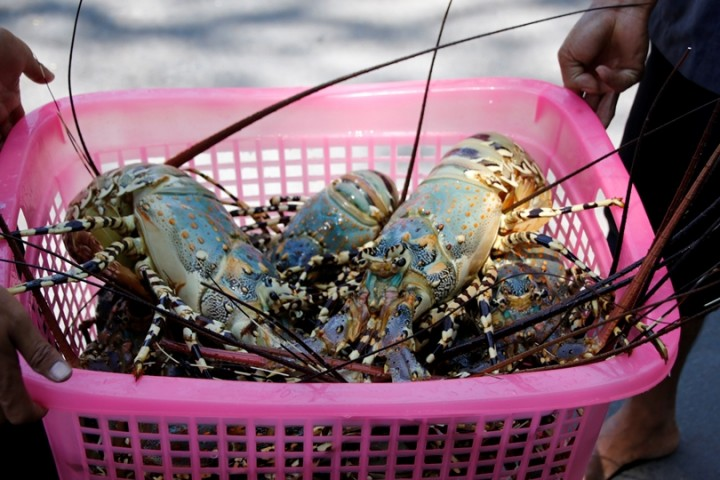 A laundry basket full of fresh-caught lobster. They are 'live' and this is their natural colour.