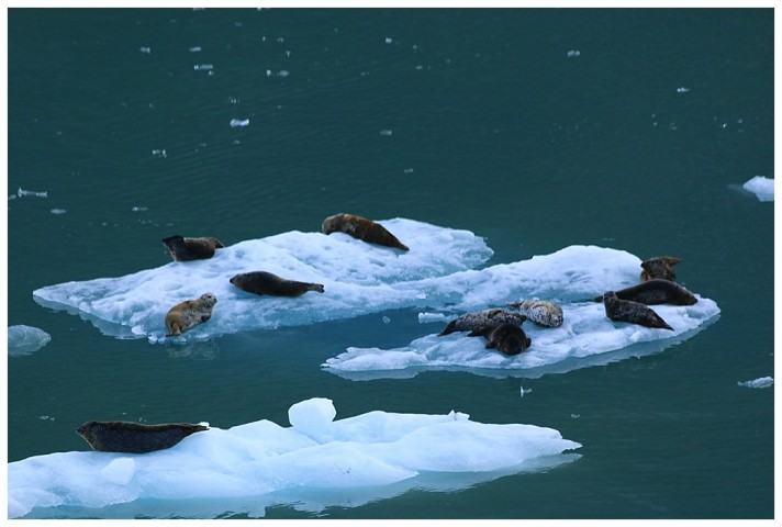 Harbour seals on the ice floes.
