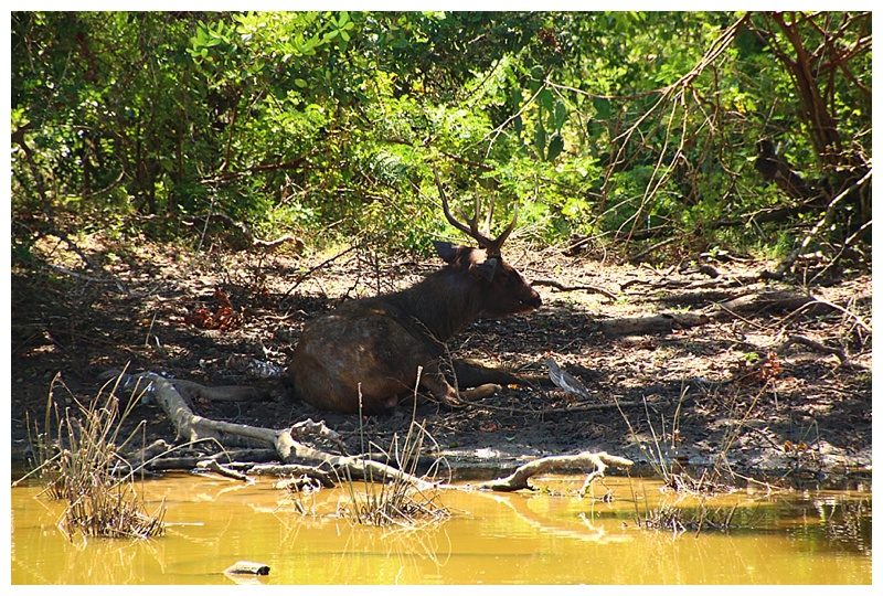 A stag rests in the shade