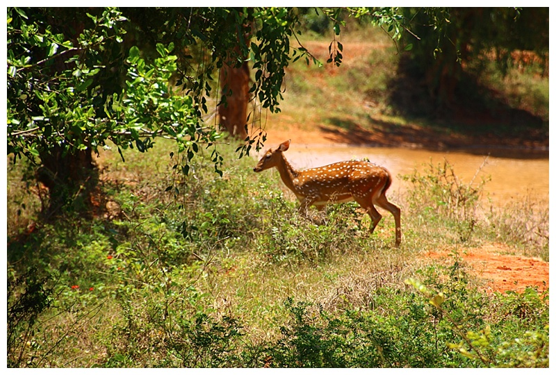 A deer makes a break for the undergrowth