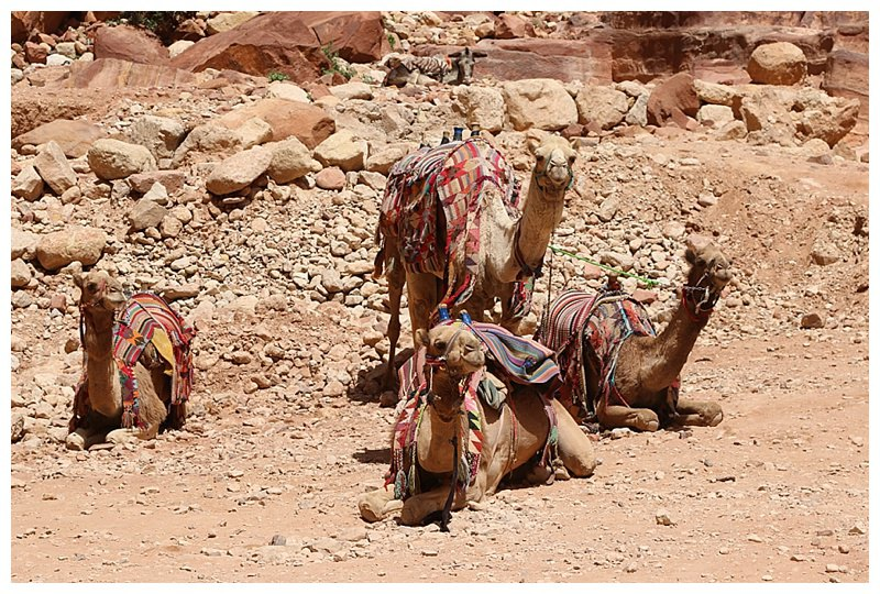 Camel rides as well as mules are available